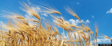 r-WHEAT-FIELD-large570 HUFF PO Canada
